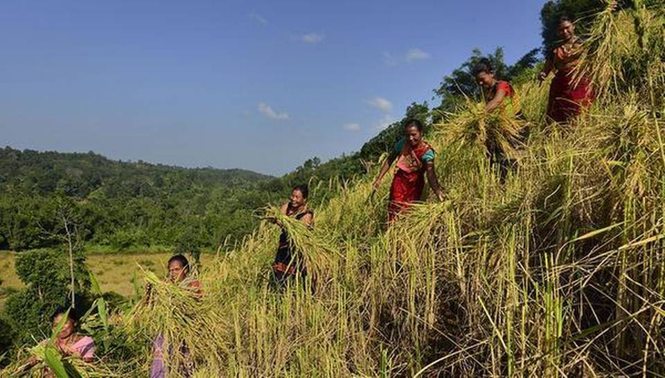 Jhum Cultivation